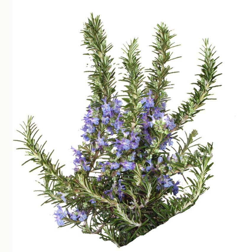 Rosemary Oil Certified Organic