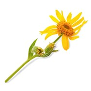 Arnica Oil Infused