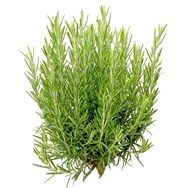 Rosemary Essential Oil Wild