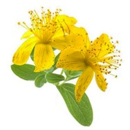 St. Johns Wort Infused in Olive Oil
