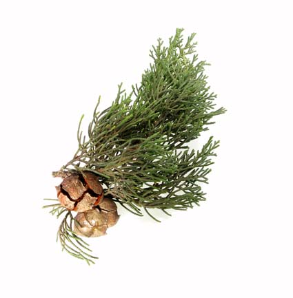 Cypress Essential Oil Certified Organic
