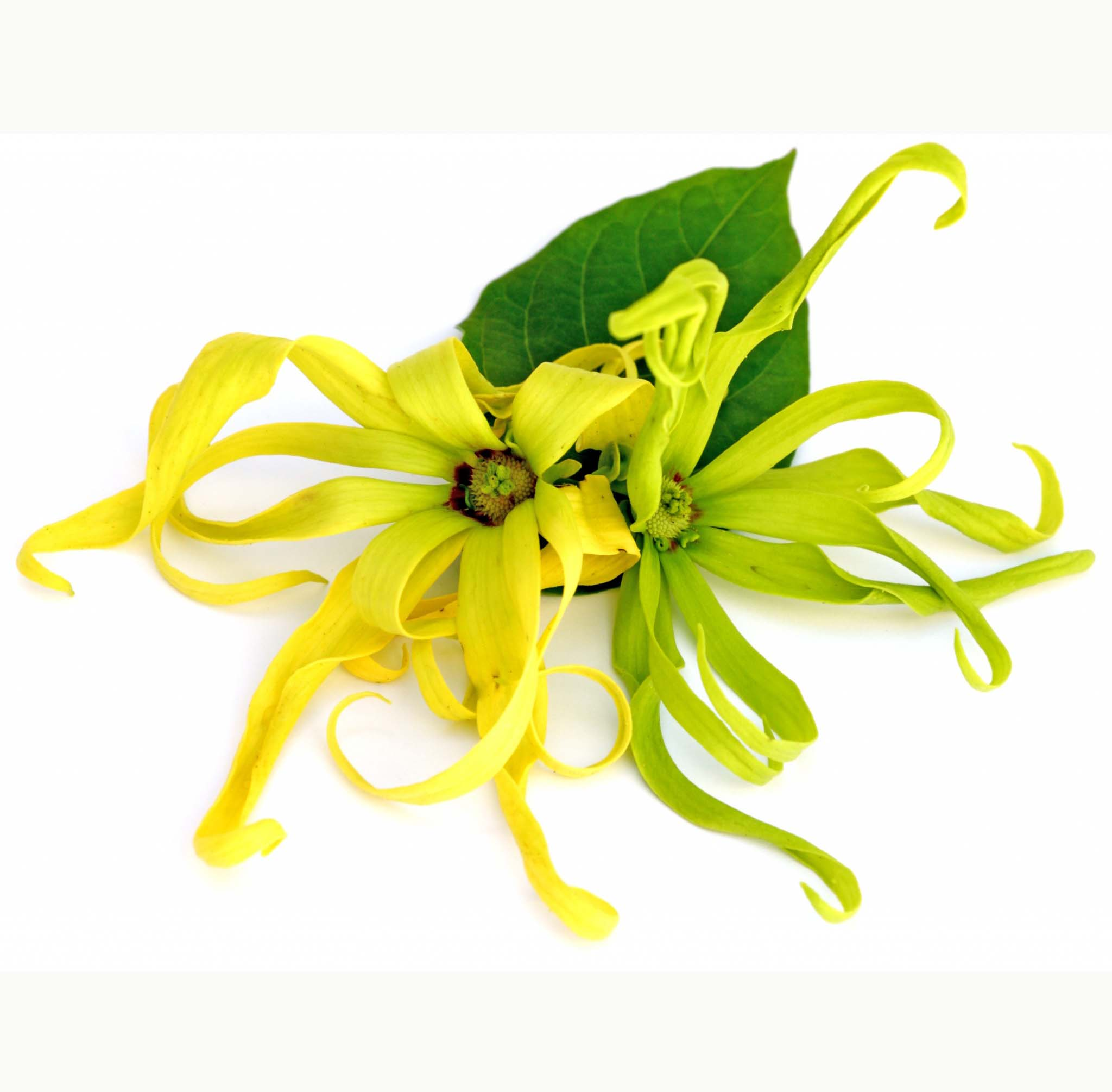 Ylang Ylang 3 Essential Oil Certified Organic